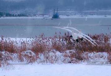 山東榮成:看天鵝沐雪舞翩躚